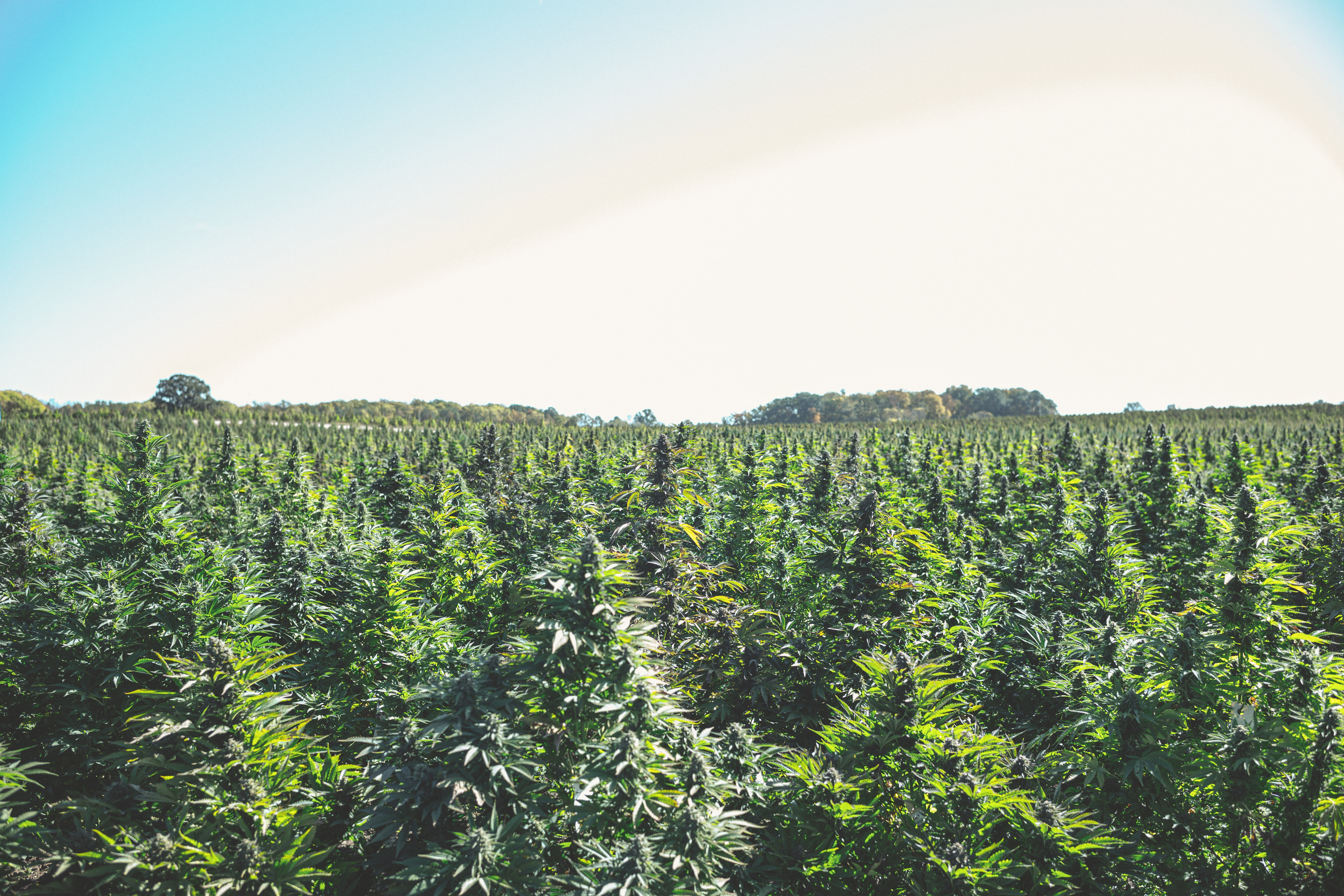 Good Farm cannabis